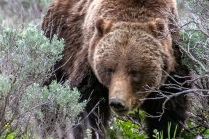 Grizzly bear sow #399 close up moving through sage
