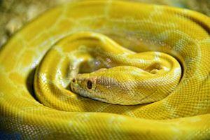 Yellow python