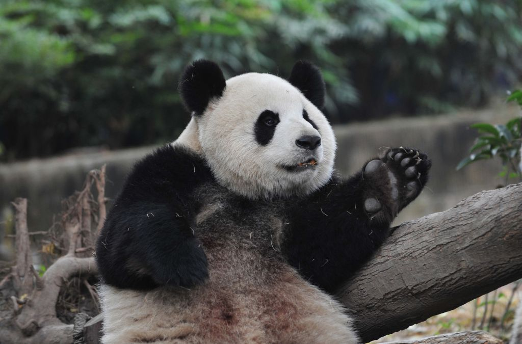 A Panda research base in Chengdu Province has raised $200,000 for a program designed to create a natural habitat for some 112 bears